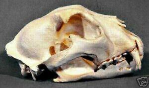 Snow Leopard Skull REPLICA