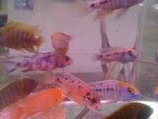 3 Assorted African Cichlid Male Peacocks (2-3 inches)