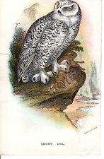 Antico Chromo-LITHO Bird Print-una civetta delle nevi-LLOYD 'S Natural History (c1890)