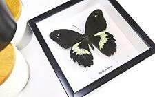 Real insects Framed butterfly collection shadowbox Papilio gambrisius BCPG