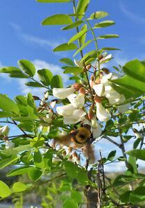 Robinie Robinia pseudoacacia Pflanze 45-50cm weiße Scheinakazie Schotendorn