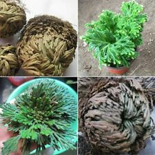 Live Resurrection Plant Rose Of Jericho Dinosaur Air Fern Spike Moss