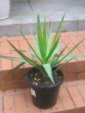 Yakka  Plants in good condition