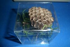 Real Paper Wasp Nest