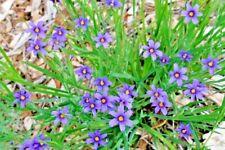 25 Narrow Leaf Blue Eyed Grass Seeds - Sisyrinchium angustifolium