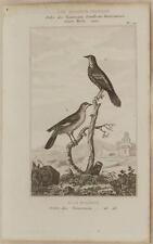 BUFFON ORIGINALE 1850 MIMO SETTENTRIONALE NORTHERN MOCKINGBIRD MIMUS UCCELLI