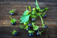 ** Tomaten Samen die Früchte sind wohlschmeckend süss- die schwarze Tomate.