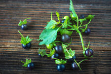 TOP Die Früchte sind wohlschmeckend süss- die schwarze Tomate.