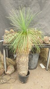 Yucca linearifolia ssp. Saltillo  natural, 150 cm, Stamm 95 cm