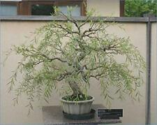 Bonsai Dragon Willow Tree - Thick Trunk Cutting - Exotic Bonsai Material