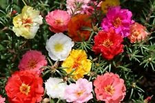 moss rose, PORTULACA, GroCo, double flower mix, 550 seeds! GroCo* BUY US USA