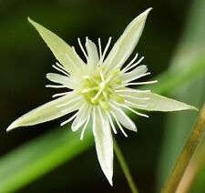 Passiflora capsularis Fragrant White Passion Flower Red Grenadilla Climber Plant