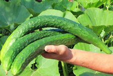 Cucumber Chinese Snake - A Very Crisp, Tender, Extra Long Cucumber Variety