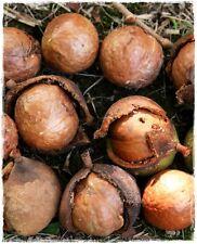 Pianta di NOCE DEL QUEENSLAND 'Macadamia Integrifolia' in vaso
