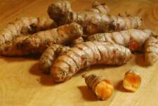 10 organic Turmeric Roots for Planting + harvested fresh