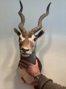 Antelope Head Taxidermy.