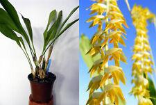 Dendrochilum magnum , orchidée, Orchid,