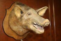 XL BOAR'S HEAD TAXIDERMY Wild Hog Wall Mount, This is One Ugly Pig!!!