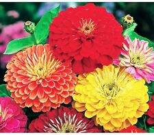 100+GIANT CALIFORNIA ZINNIA MIX SEEDS Butterfly Bees Heirloom LITTLE SEED STORE