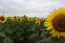 50 SKYSCRAPER Sunflower Seeds, Helianthus Annuus  + FREE GIFT*