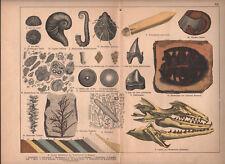 1878 lithographie originale fossiles coquillages machoire plante géologie