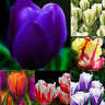 100Pcs Colorful Tulip Flower Seeds Bonsai Home Garden Multi-Color Mix Beautiful