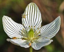 50 GRASS OF PARNASSUS FLOWER Parnassia Glauca American Fen Grass Wetland Seeds