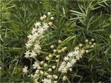 Basket Asparagus -Fast Growing Houseplant - Fresh Seeds