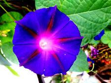 bunte Trichterwinde,Ipomoea indica, Blüten,Ampel, Balkon,Blumenzaun, MISCHUNG