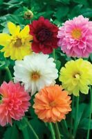 Dahlia Flower Seeds 25 Fresh 2020 harvest  Mix of colours Gorgeous flowers