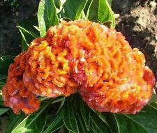 COCKSCOMB ORANGE DWARF Celosia Cristata Nana Jessica - 120 Bulk Seeds