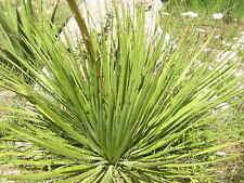 ágave STRICTA LONGIFOLIA 25 Semillas Seeds Salil Espadin Narrow leaf ágave