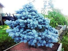 Colorado Blue Spruce (Picea pungens) Seeds Evergreen Bonsai Tree 20~Pack