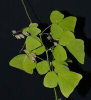 Christia pierrei - 5 Samen - botanische Rarität - very rare plant