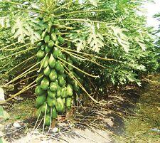 Papaya Maradol (25 seeds) fresh this season's harvest from my garden