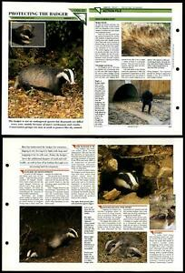 Protecting The Badger #23 Conservation Wildlife Fact File Fold-Out Card