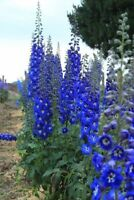 50 Bright Blue Delphinium Mix Seeds Perennial Garden Flower Bright Sun Shade 562