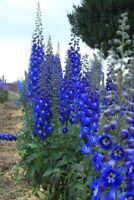 50 Bright Blue Delphinium Mix Seeds Perennial Garden Flower Bright Sun Shade 562