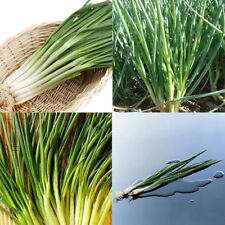 2000pcs Organic Chives Shallot Seed Garden Green Onion Vegetable Plant