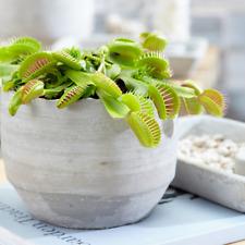 Indoor Carnivorous Plant in 9cm Pot - Venus Fly Trap 'Dionea Muscipula'