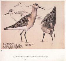 BEAUTIFUL VINTAGE BIRD PRINT ~ RUFFS AT MALLTRAETH FIELD POOLS ~ TUNNICLIFFE