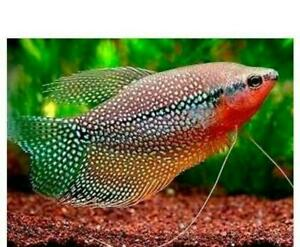 3 PEARL (LEERI) GOURAMI 2 TO 2.5 INCH - ALSO KNOWN AS LACE OR MOSAIC GOURAMI