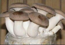 10ml syringe liquid mycelium mushroom culture King Oyster for Grain / Substrate