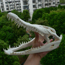 Hot crocodile Skull Taxidermy supplies art bone vet medicine 1:1 new