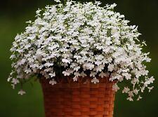20 Semillas Compacto Lobelia Riviera Blanco produce masas de pequeñas flores blancas
