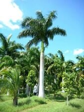 Roystonea regia-Royal Palm tree - 10 graines exotiques
