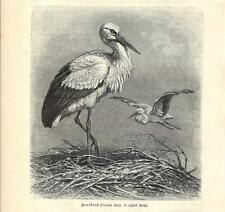 Stampa antica UCCELLI CICOGNA BIANCA Ciconia alba 1891 Old antique print