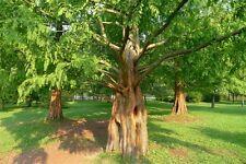 9 Semillas  Metasecuoya  METASEQUOIA GLYPTOSTROBOIDES Jardín - Garden Samen Semi