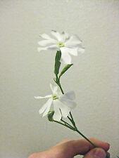 20 Samen Silene capensis , Silene undulata - Afrikanische Traumwurzel