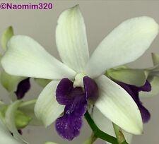 Dendrobium White Woo Leng Blue Lip Bloom size
